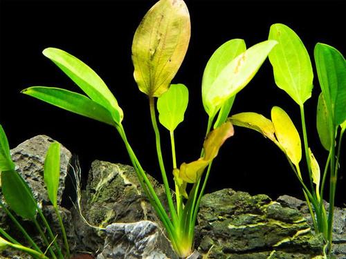 Sword Kleiner Prinz (Echinodorus sp. Kleiner prinz) Bare Root