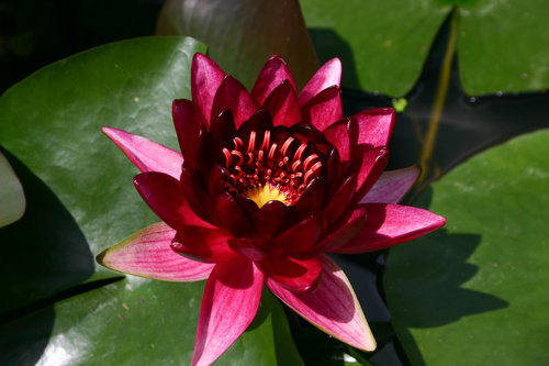 BLACK PRINCESS (M) Hardy Water Lily (Red)