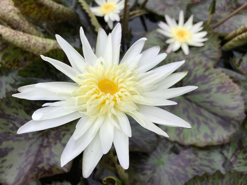 RACHEL PRESNELL (M-L) Tropical Water Lily Day Blooming (Yellow)
