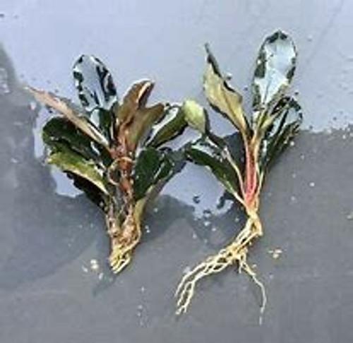 Bucephalandra Melawi Copper