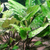 Cryptocoryne pontederiifolia (Cryptocoryne pontederiifolia)