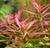 Ludwigia Needle Leaf (Ludwigia arcuata)