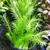 Mayaca (Mayaca fluviatilis)