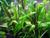 Cryptocoryne lutea (Bare root clump)