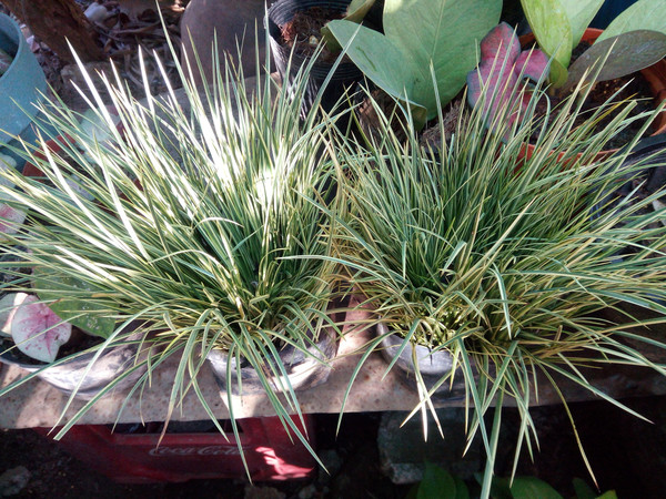 Acorus Variegated (Sweetflag)