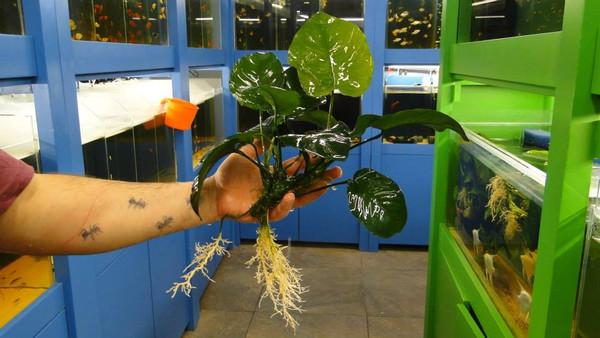 """Anubias Barteri Broad Leaf """"Giant Mother Plant"""""""