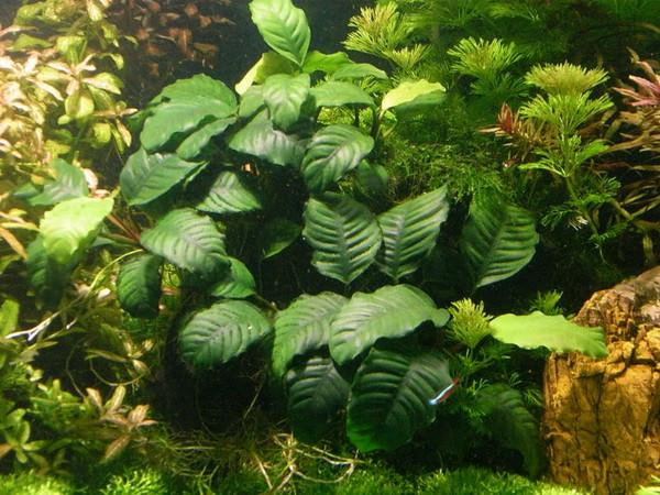 Anubias coffeefolia (Anubias barteri v. Coffeefolia)