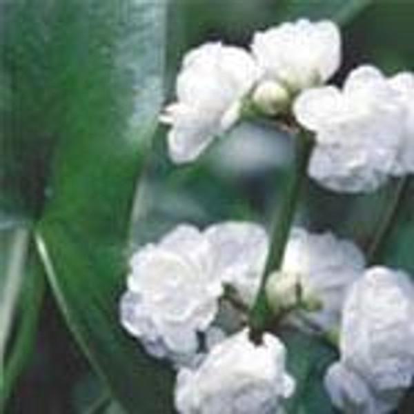 ARROWHEAD, DOUBLE FLOWERING (Sagittaria japonica) Hardy Marginal Plant (Qty of 6)