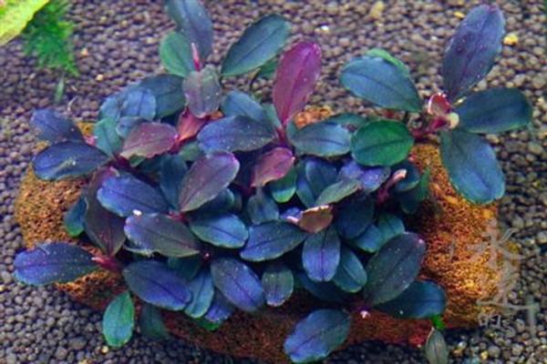 Bucephalandra Brownie Blue