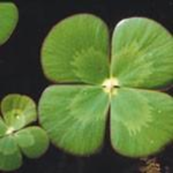 CLOVER, VARIEGATED (Marsilea mutica) Hardy Marginal Plant (Qty of 6)