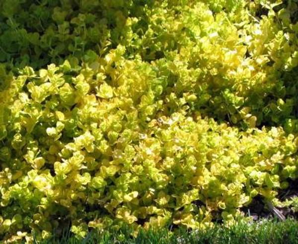 CREEPING JENNY Golden (Lysimachia nummularia) 6 per order