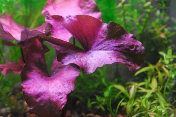Dwarf Lily (Nymphaea Rubra)
