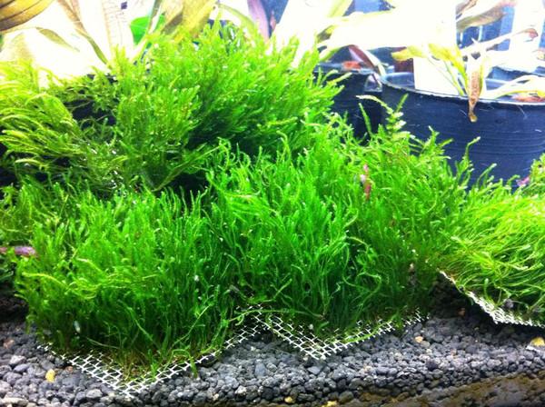 "Flame Moss (Taxiphyllum sp. Flame) Mat 3"" x 3"""