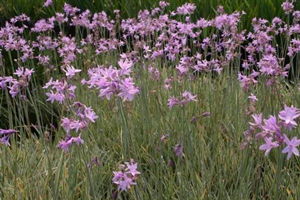 Garlic, Variegated Society (Tulbaghia violacea varigata)(QTY of 6)