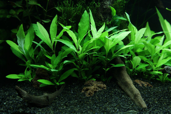 Green Temple Narrow Leaf (Hygro Corymbosa 'Siamensis')
