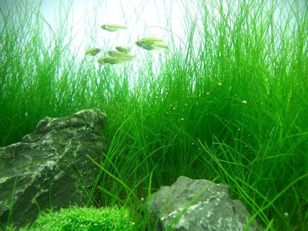 """Hairgrass Dwarf (Eleocharis acicularis) Mat (3.5""""x5"""")"""
