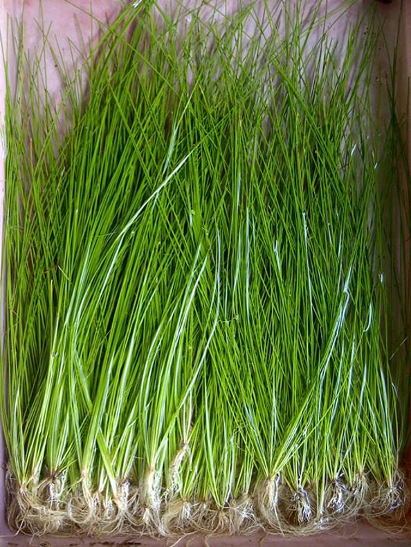 Hairgrass Giant Pot (Eleocharis montevidensis)