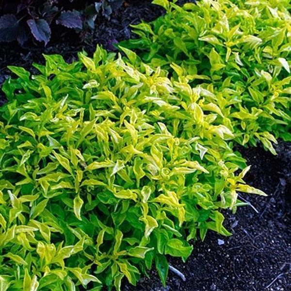 Hedge Green Pot (Alternanthera ficoidea) (Qty of 6)