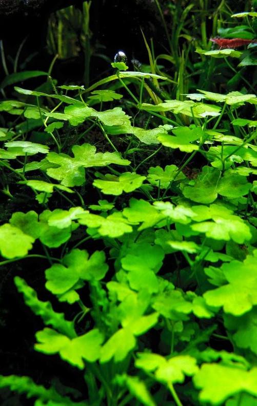 """Hydrocotyle tripartita """"Japan"""" Pot"""
