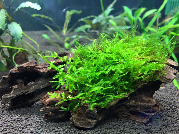 Java Moss (Vesicularia Dubyana) 4oz Cup