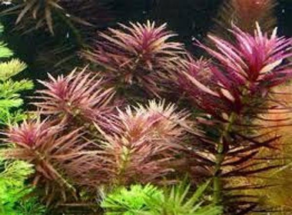 Limnophila hippuroides (Limnophila aromatica). Nice purple color under high light.