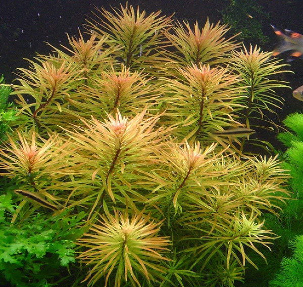 Ludwigia inclinata var. verticillata 'Cuba' (Emersed form)