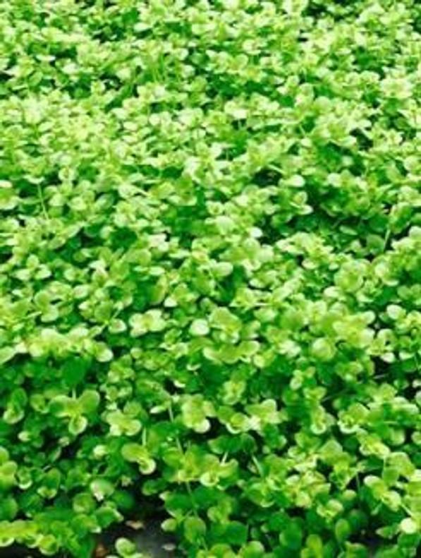 Micranthemum Monte Carlo Pot (Micranthemum Tweediei)
