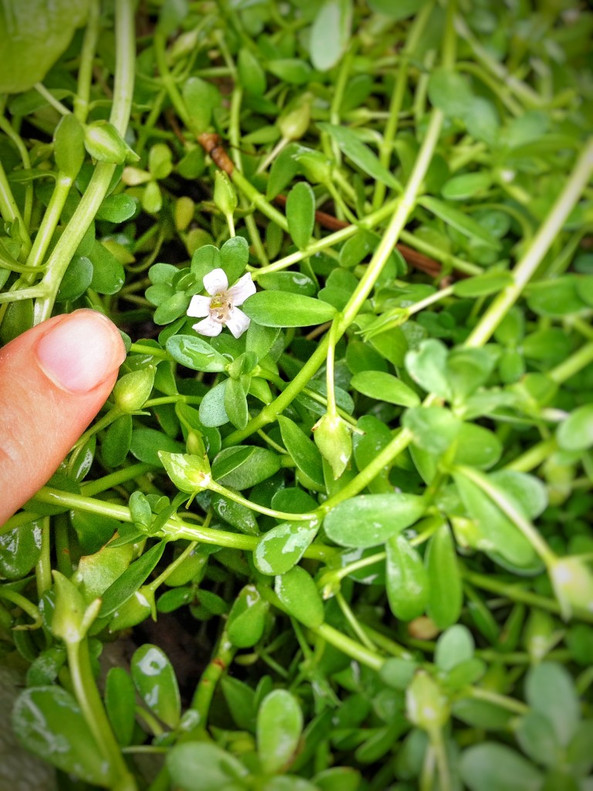 Moneywort Pot (Bacopa monnieri)