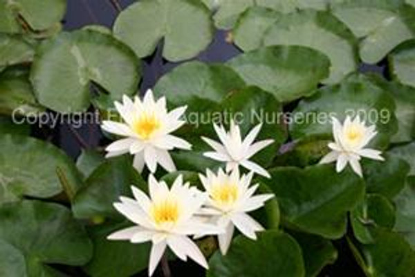 Moon Dance (M-L) Hardy Water Lily (White)