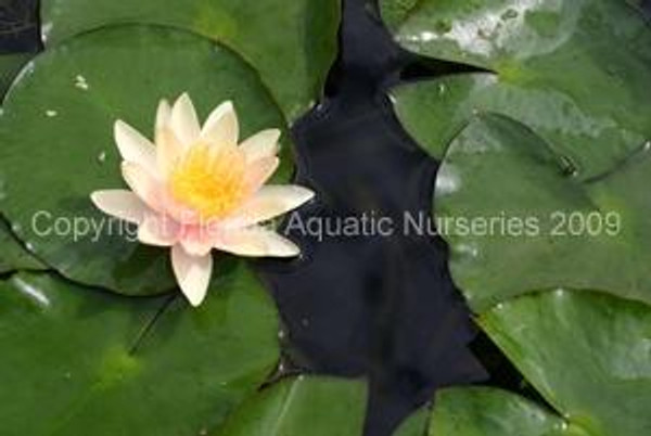 Paul Hariot (S-M) Hardy Water Lily (Changable)