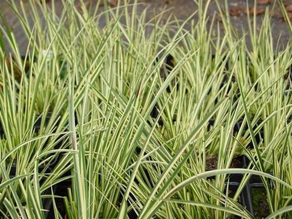 SWEETFLAG, VARIEGATED (Acorus calamus variegatus) Hardy Marginal Plant (Qty of 6)