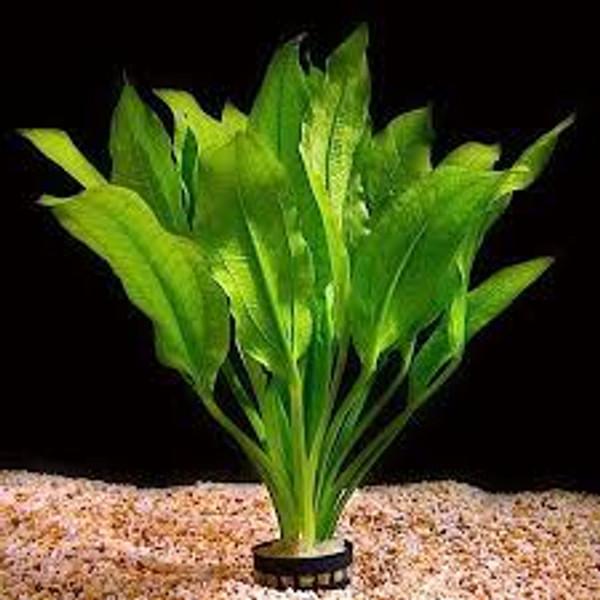 Sword Amazon LG Pot (Echinodorus bleheri)