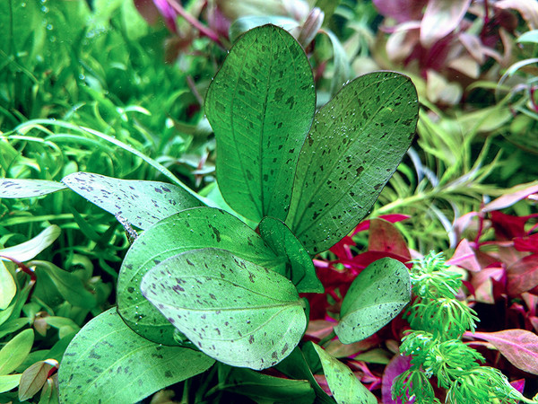 "Sword Ozelot ""Giant Mother Plant"" (Echinodorus 'ozelot') Pot (size varies)"