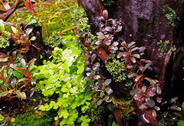 Bucephalandra Brownie Purple