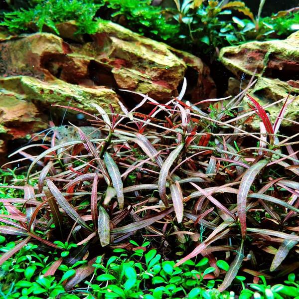 Hygrophila araguais (Hygrophila sp. Araguaia)