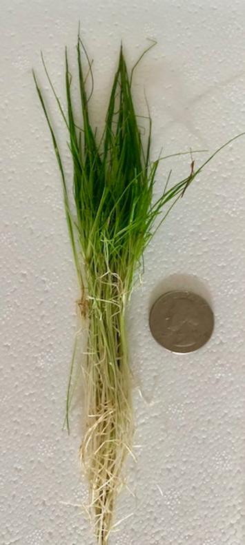 Dwarf hairgrass mini.