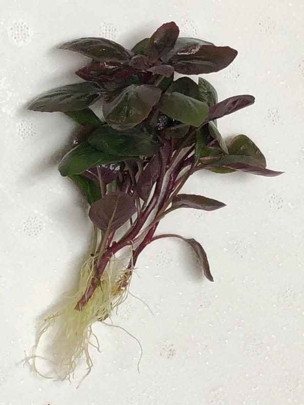 Cardinal Plant (Lobelia cardinalis) Bare root
