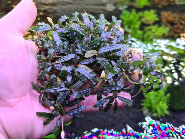 Bucephalandra Catherinae 'Green'