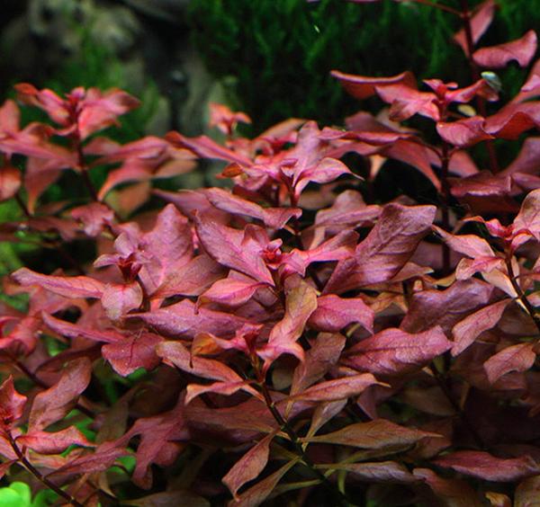Ludwigia Super Red (Ludwigia sp. Mini Super Red)