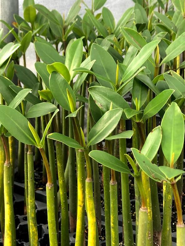 "Mangrove - Red (Rhizophora Mangle) 12"" + ( 3 per order)"