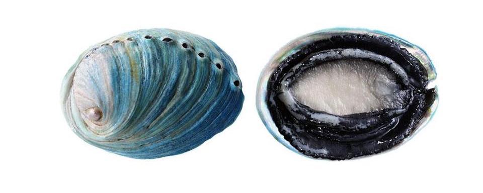 Abalone (paua)