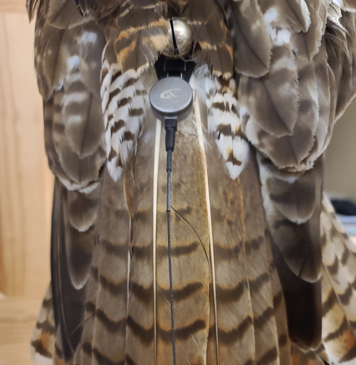 Final product, bell and Marshall Scout attached to mount on Red-Tailed Hawk.  * Bell, transmitter and hawk NOT included.