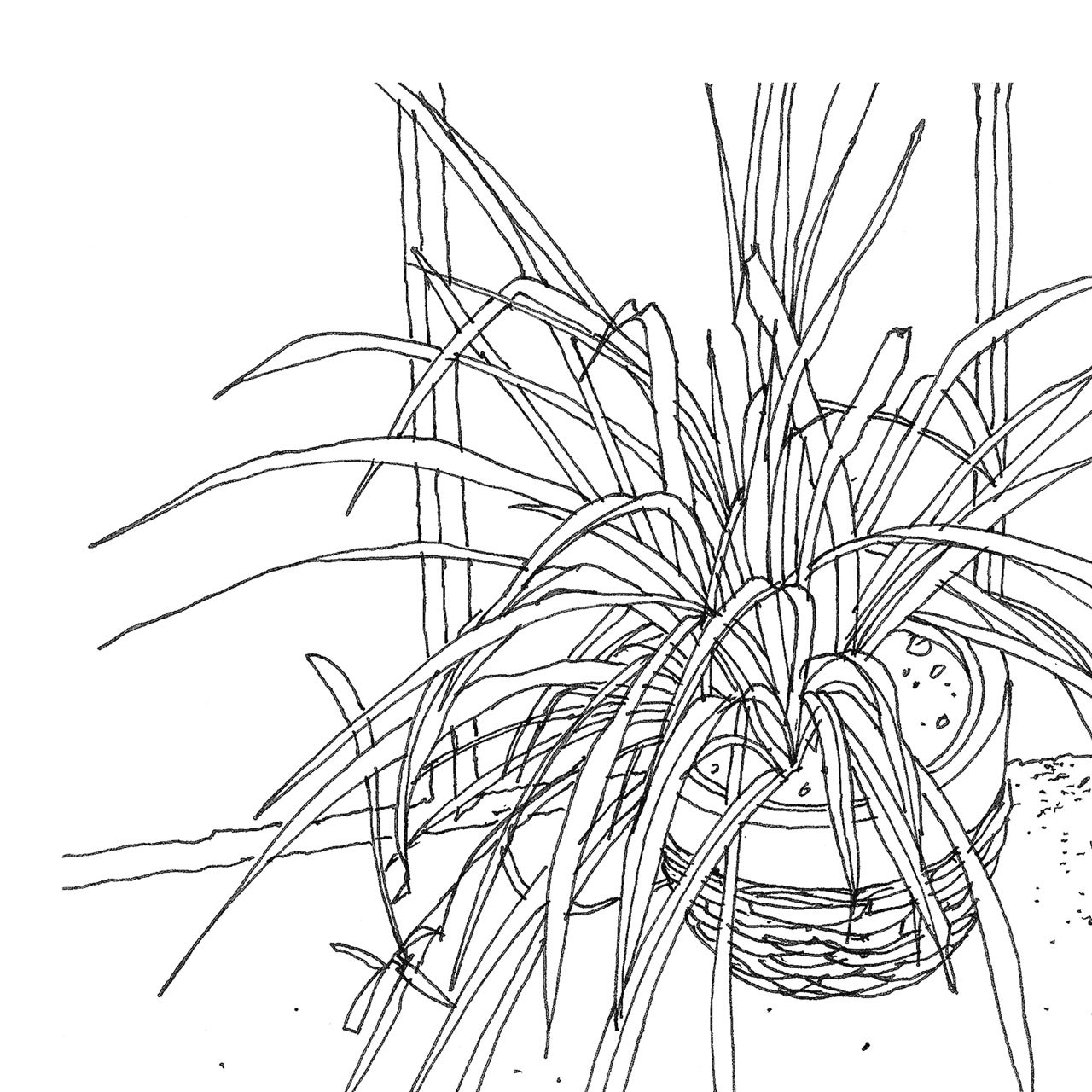 Close-up of 'Spider Plant' Art Print (ink drawing by David Cobley) from The Printed Home