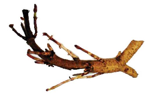 Cascade Hop Rhizome