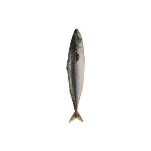 Mackerel / caballa congelada