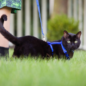 5 Tips For Leash-Training Your Cat