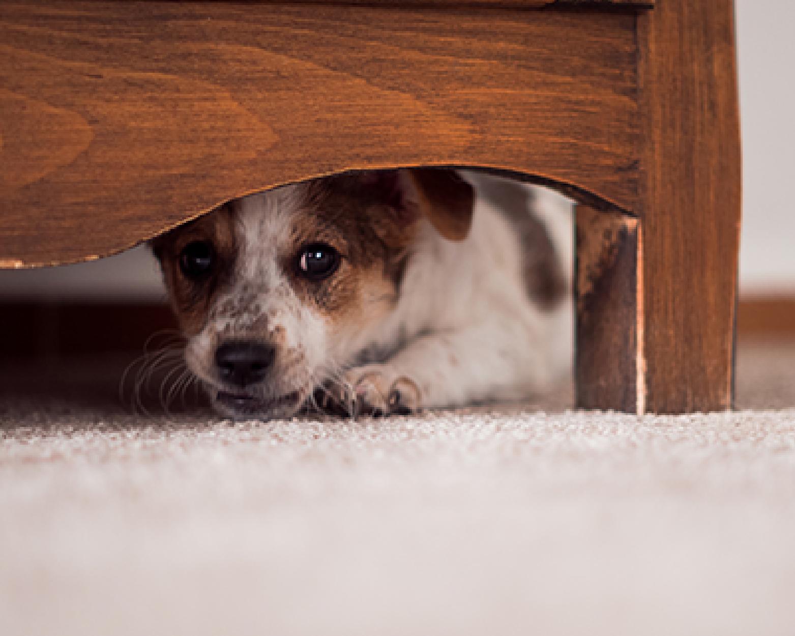 dog hiding