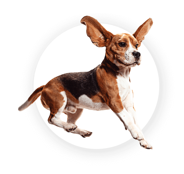 Beagle Dog