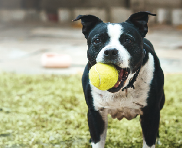A dog with a tennis ball. Click to shop fetch toys.