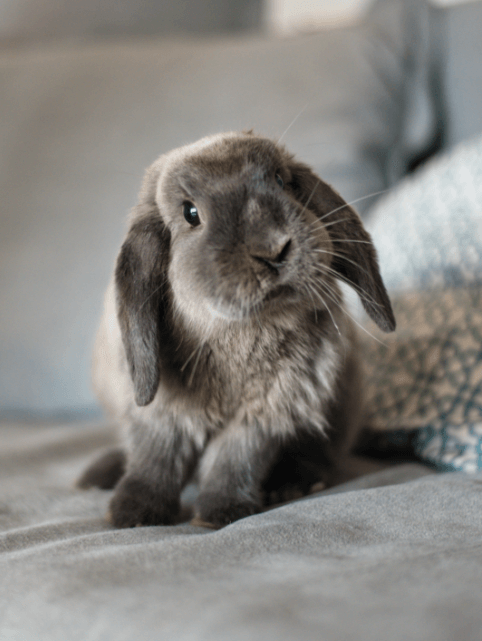 Grey long haired rabbit on a bed